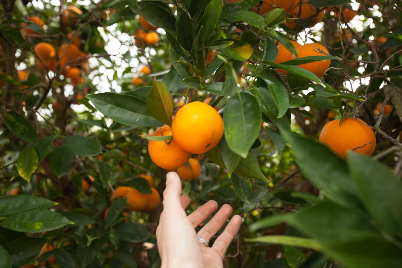 Organic oranges grown with organic landscaping methods in Santa Barbara, CA by Dave's Organic Gardening.