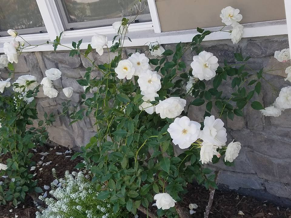 Rose pruning in santa barbara, by Dave's Organic Gardening.