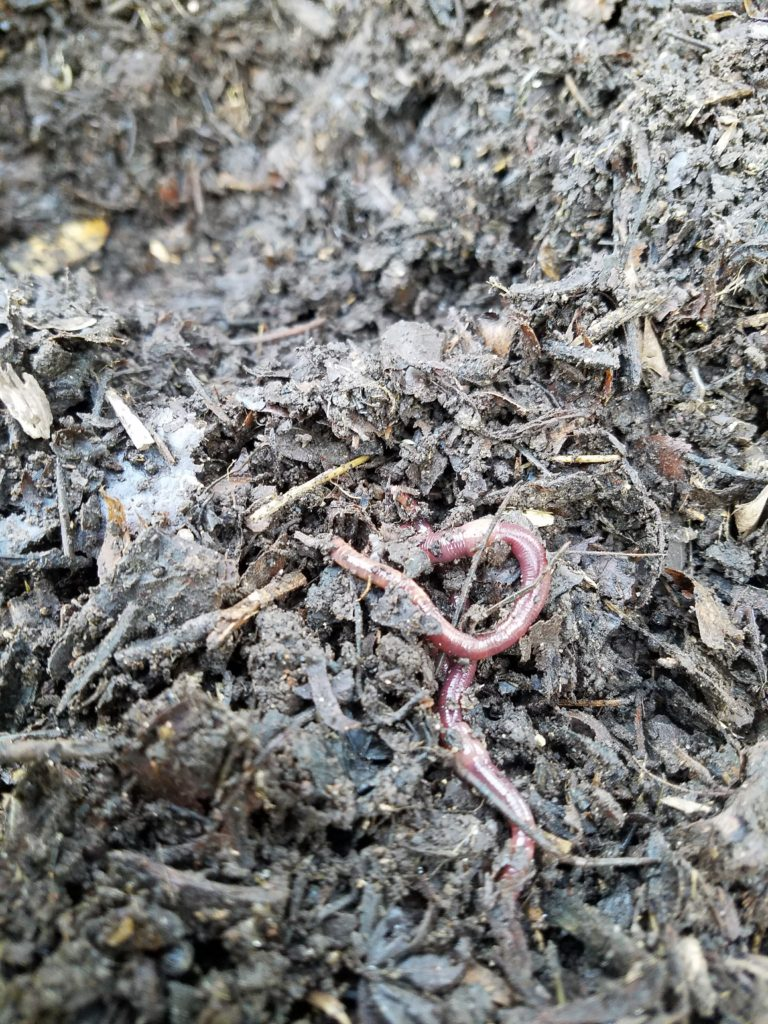 Montecito CA, Red wigglers found in freshly turned compost pile, Dave' Organic Gardening